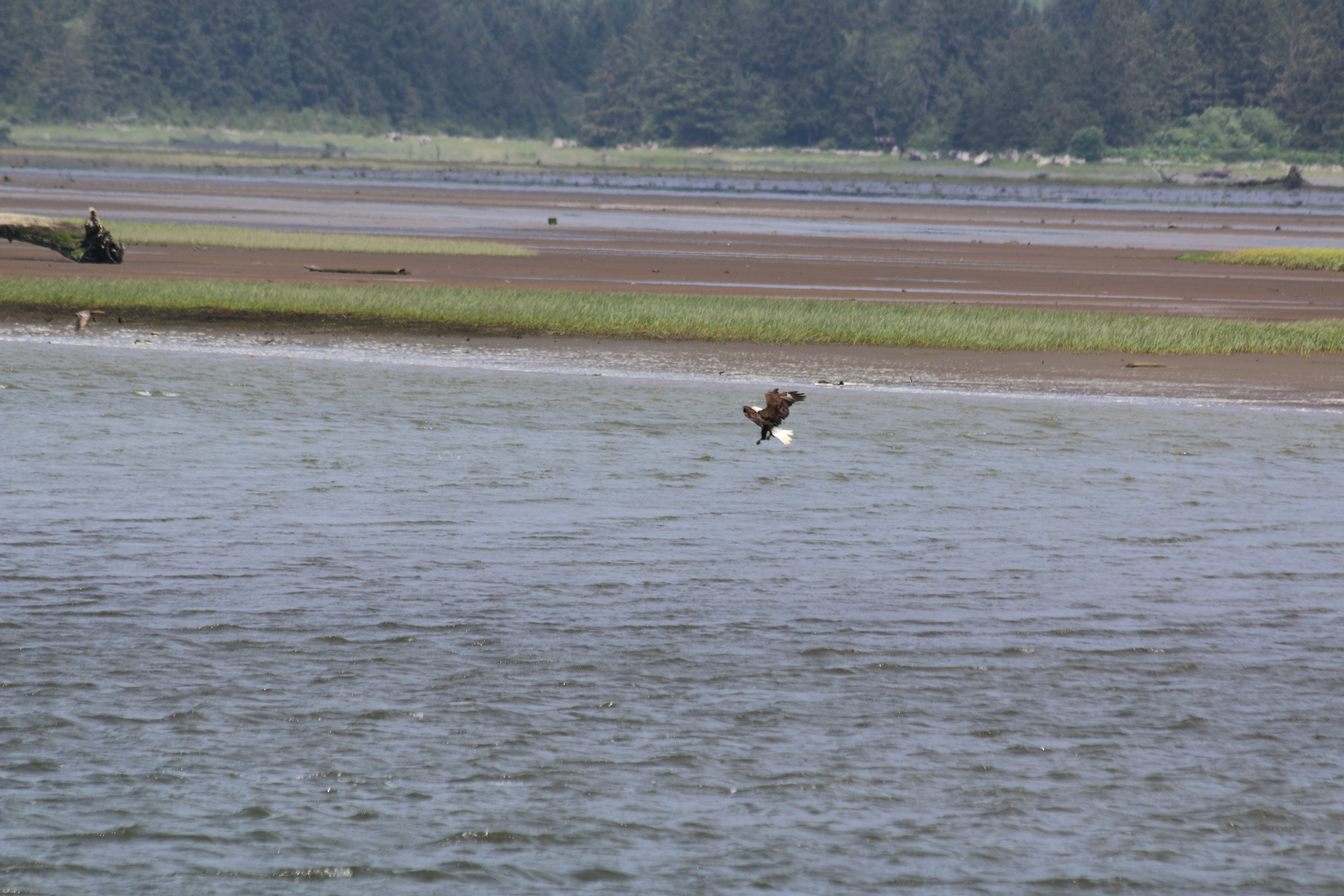 A bald eagle about to strike at a fish.