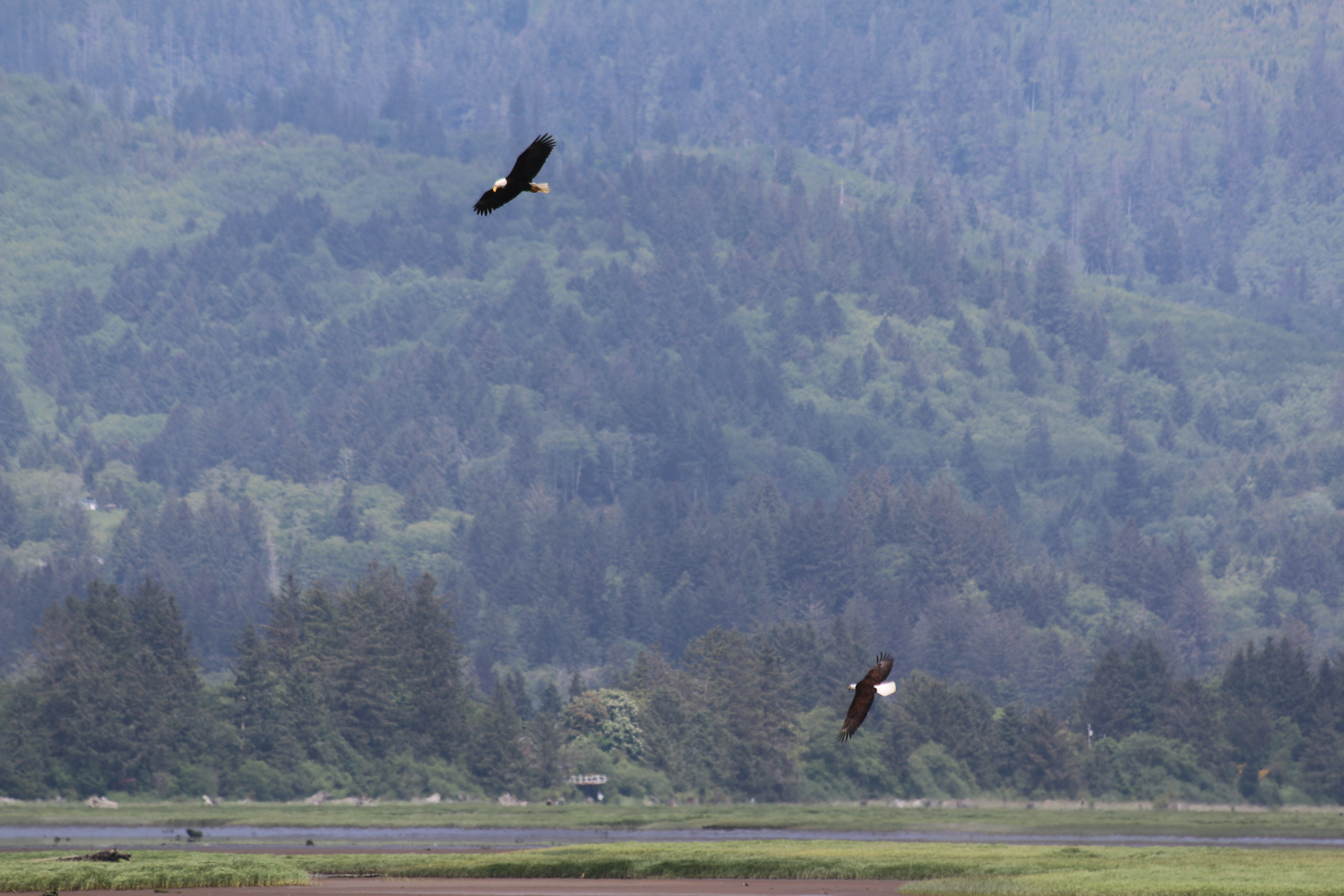 Two bald eagles soaring