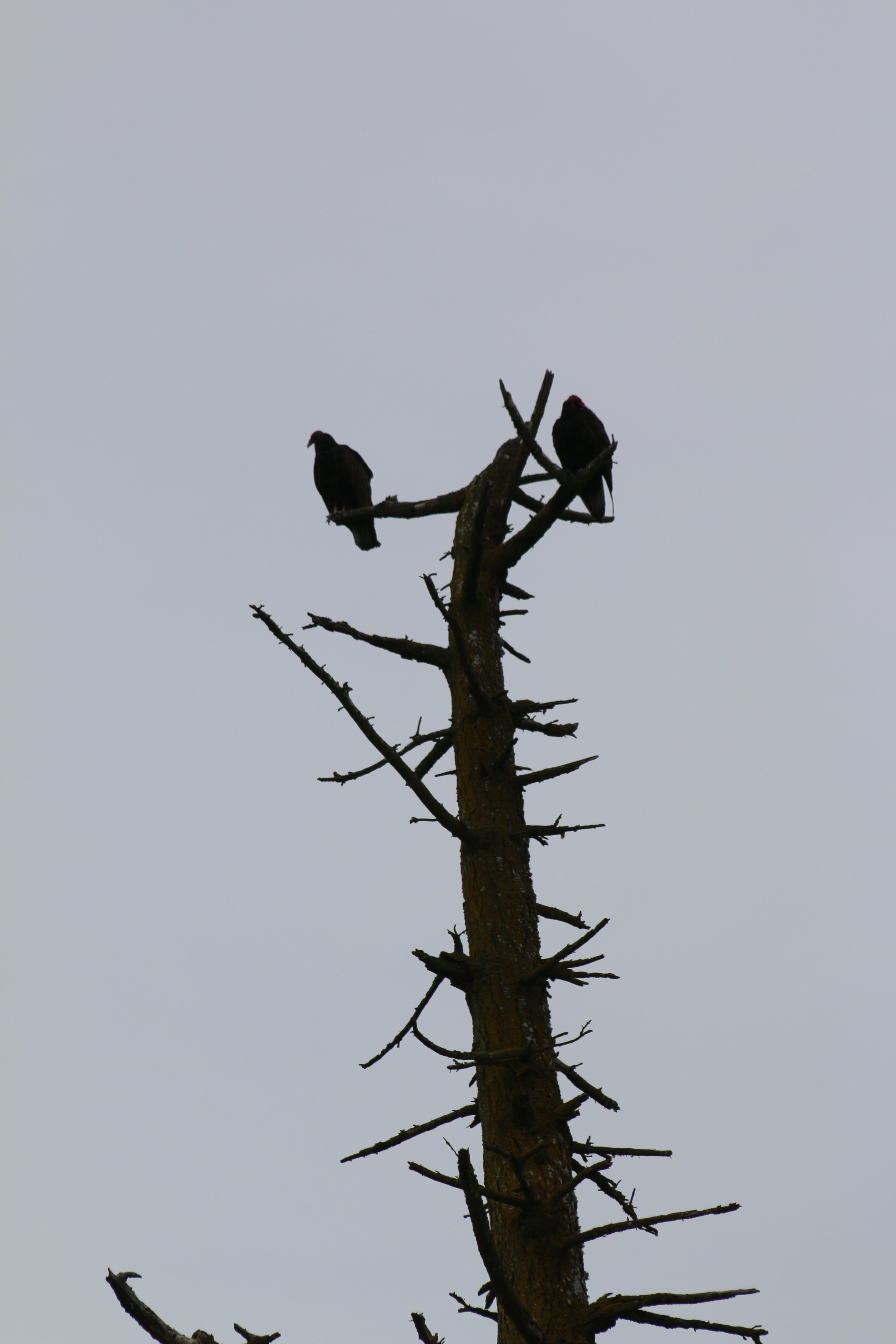 Two vultures perched atop a dead tree